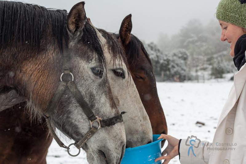 Horse feeding in the snow