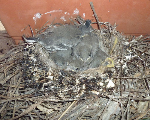 wagtail nest with chicks