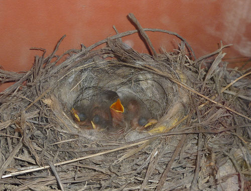 pied wagtail's nest and chicks
