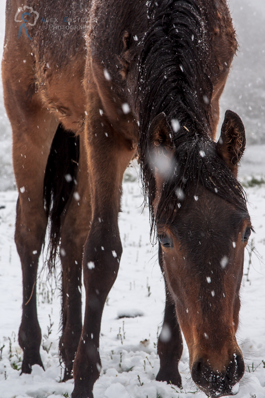 Brown horse in snowy portrait