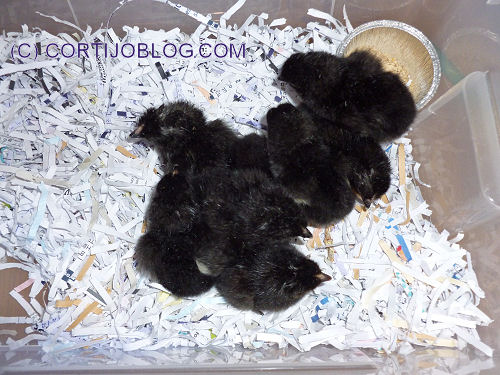 recenytly hatched chicks