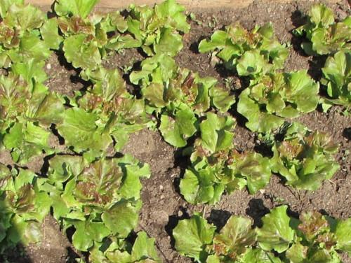 Maravilla Lettuce