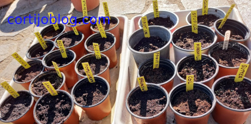 Planting seeds in pots