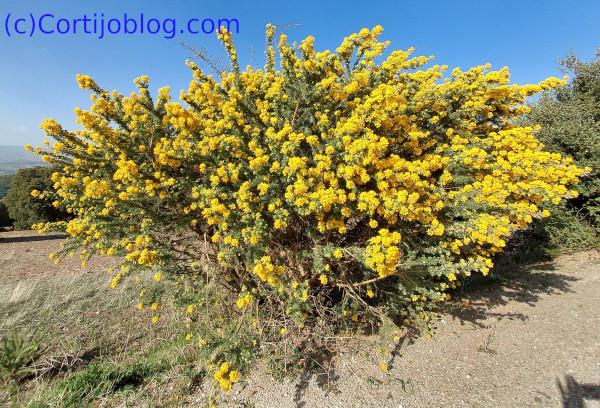 Adenocarpus decorticans